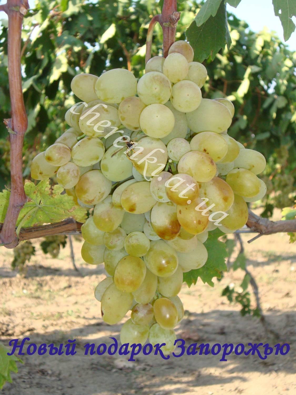 Виноград сорт новый подарок 41